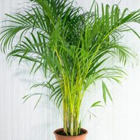 Indoor bamboo palm