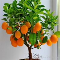 Indoor dwarf orange fruit trees