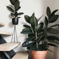 Potted indoor rubber plant
