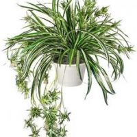 Indoor spider plant