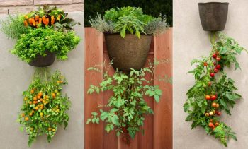 Upside down hanging tomato plants
