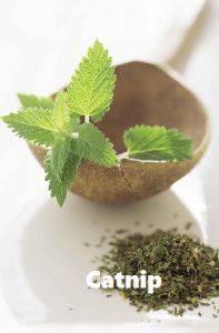 Mosquito repellent herb Catnip