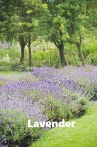 Mosquito repellent plants Lavender