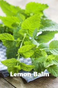 Mosquito repellent herb Lemon Balm